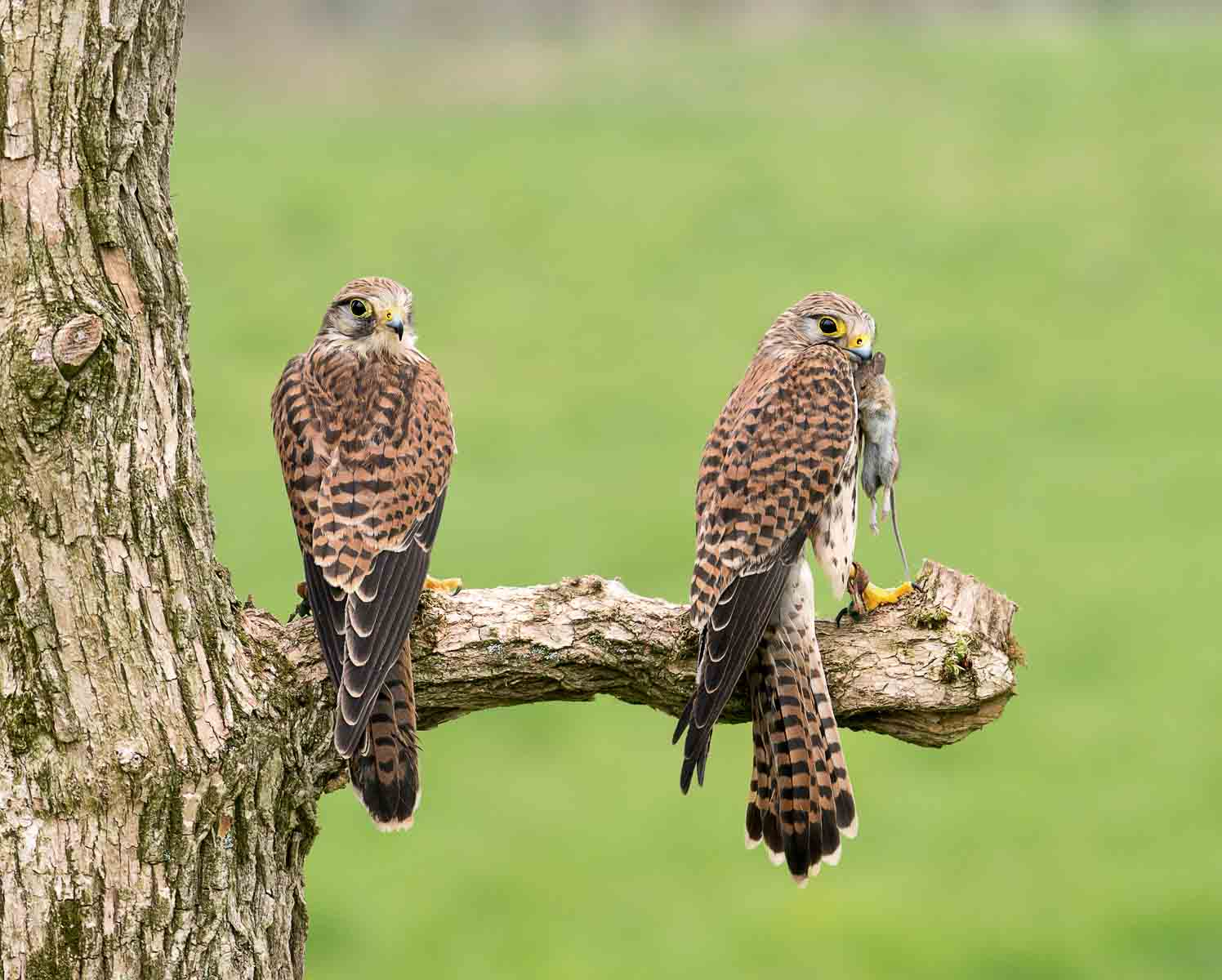 1. A pair of Kestrels.jpg