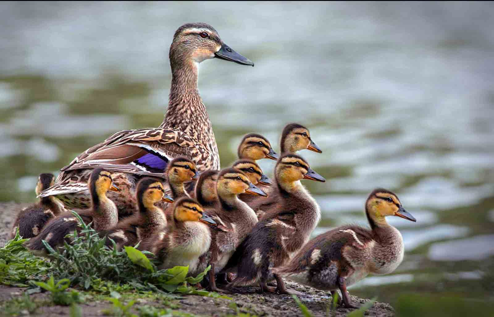 5. Mallard and ducklings.jpg