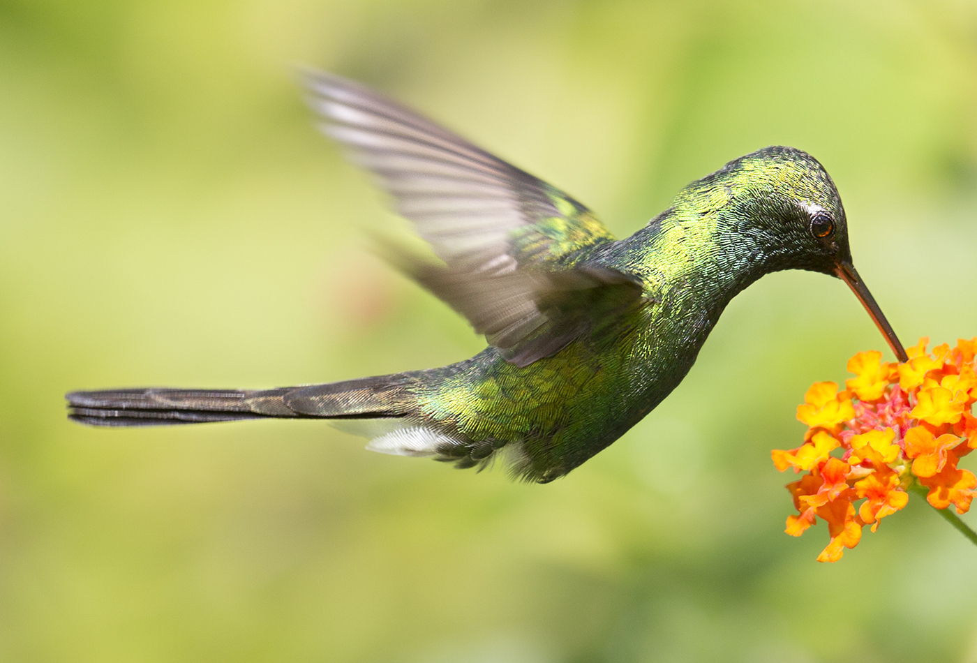 Cuban Emerald Hummingbird.jpg