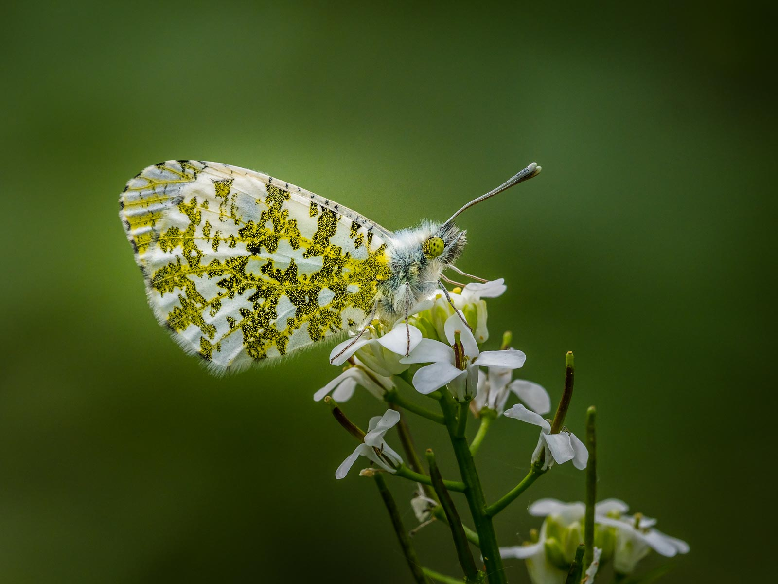 Female Orange Tip on Bittercress.jpg