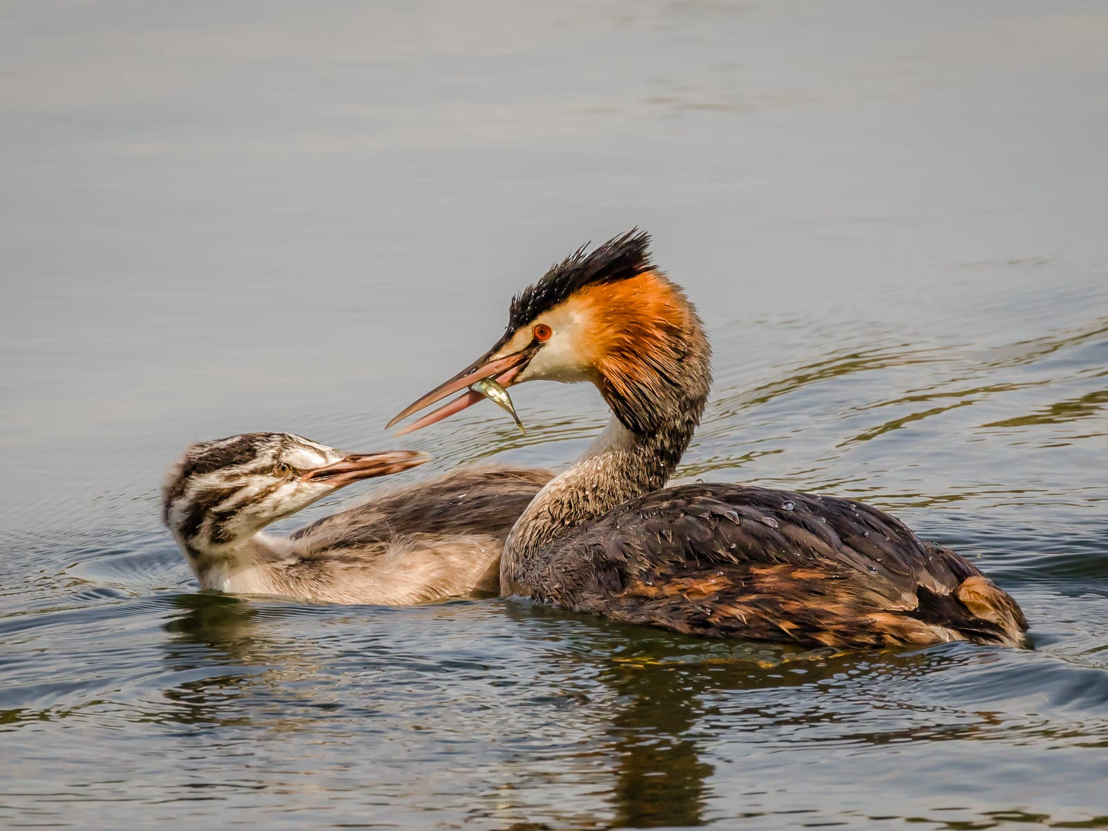 Great Crested Grebe Feeding Chick.jpg