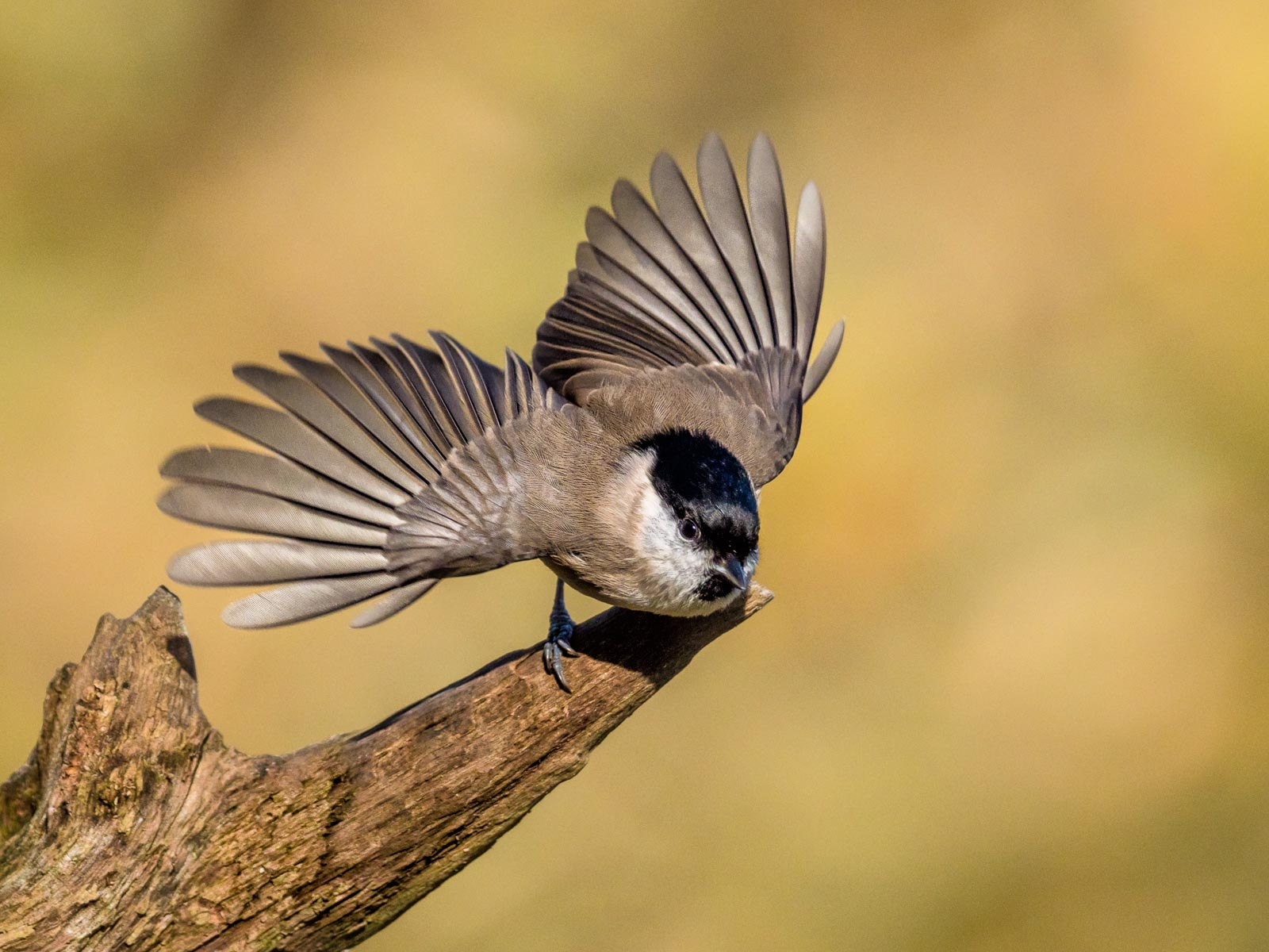 Marsh Tit Taking Flight.jpg