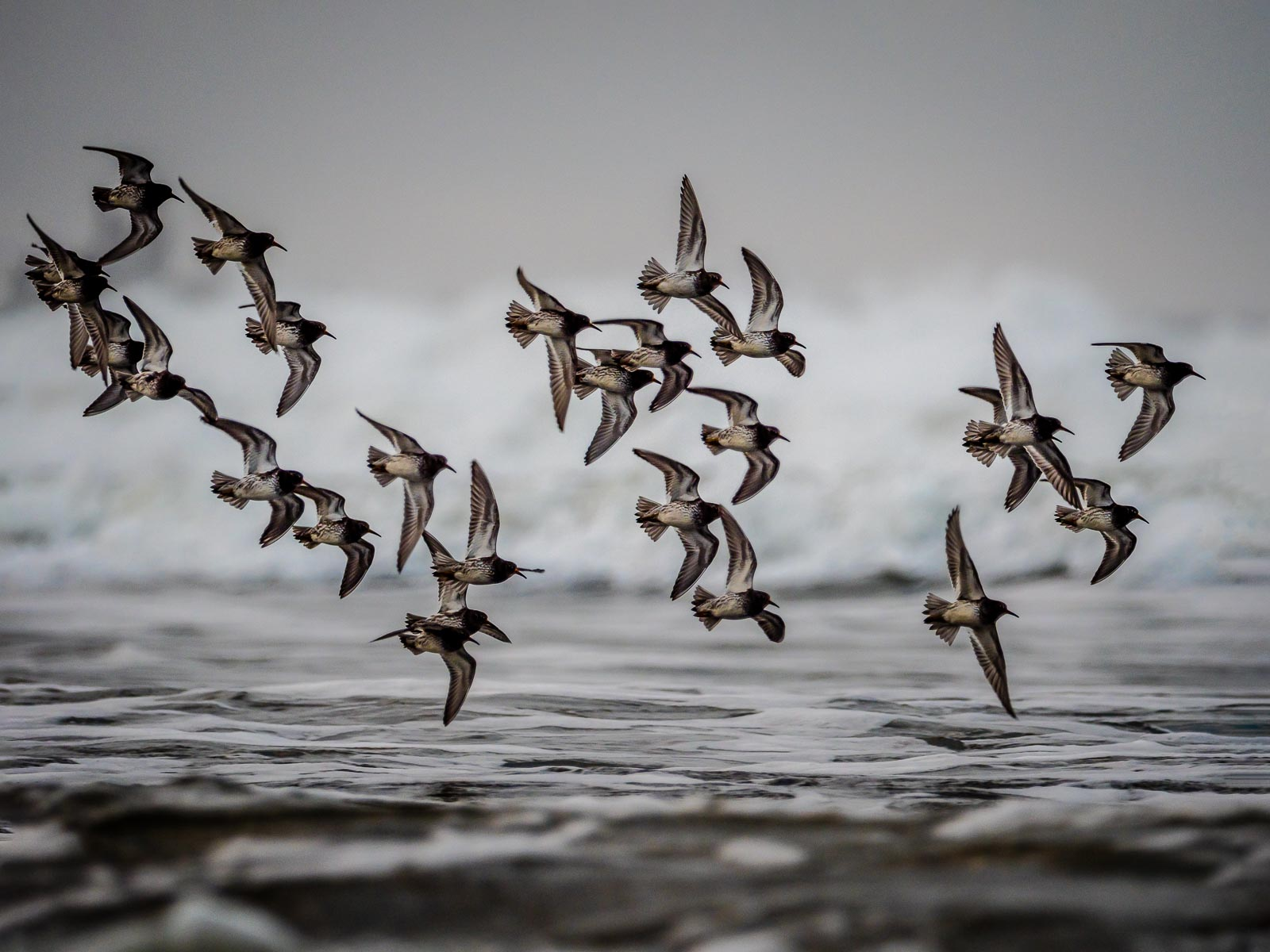 Purple Sandpiper Flock.jpg