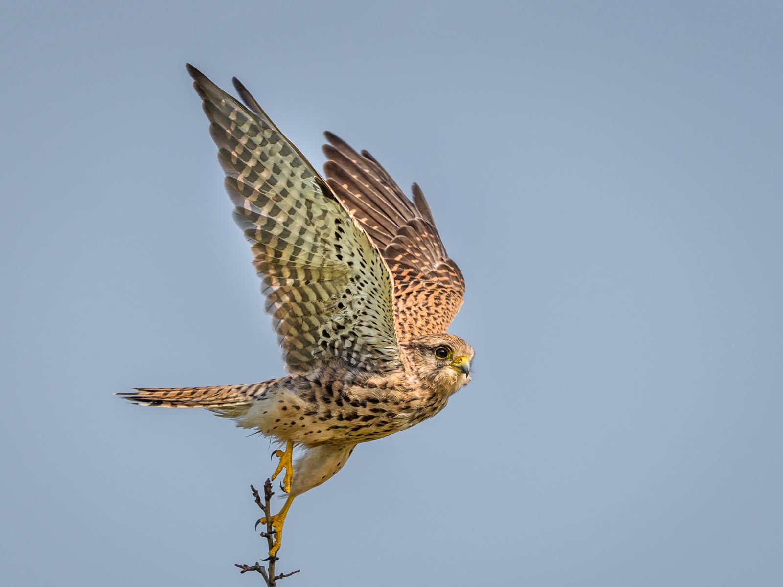 Wild Kestrel Taking Flight.jpg