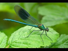 Fiona Lea-Banded Demoiselle-Highly Commended.jpg