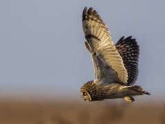 Gordon Mills-Short Eared Owl-WINNER.jpg