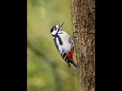 Louis Dawson-Greater Spotted Woodpecker-Very Highly Commended.jpg