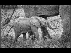Gordon Mills-Elephant South Africa-Commended.jpg