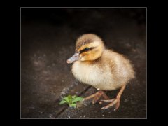 Alan Hesford-Mallard duckling in the rain-First.jpg