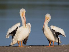 Gordon Mills-American White Pelicans Florida-Highly Commended.jpg