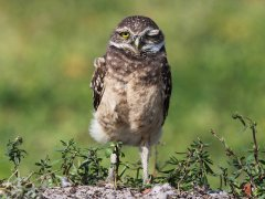 Gordon Mills-Burrowing Owl Florida-Very Highly Commended.jpg