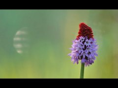 Mike Bailey-Pyramidal Orchid-Third.jpg