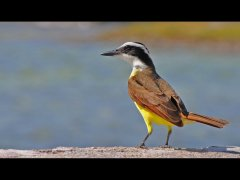 Mike Baily-Great Kiskadee (Pitangus sulphuratus)-Very Highly Commended.jpg