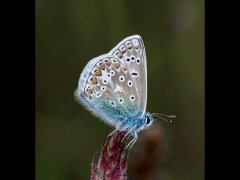 Chris Willis CPAGB BPE3-Common Blue-Commended.jpg