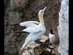 Eileen Jones-Gannet and Guillemot-Very Highly Commended.jpg