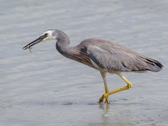Gordon Mills-White faced Heron feeding-Highly Commended.jpg