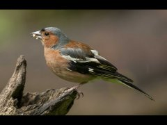 John Bragg-Chaffinch-First.jpg