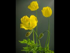 John RobertsWelsh Poppy-Very Highly Commended.jpg