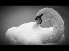 John Bragg-Swan-Highly Commended.jpg
