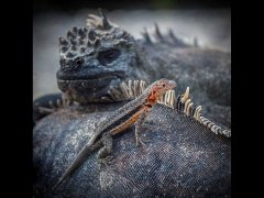 Christine Willis CPAGB BPE3-Lava Lizard and Marine Iguanas-Commended.jpg