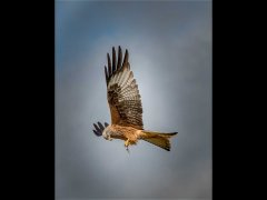 David Cowsill CPAGB BPE1-Red Kite Feeding-Very Highly Commended.jpg