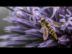 John Roberts-Hover Fly-Very Highly Commended.jpg