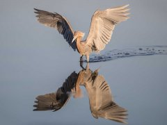 Gordon Mills-Reddish Egret-Very Highly Commended.jpg