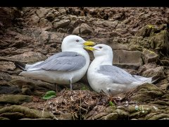 Lynda Haney-Kittiwakes-Certificate of Merit.jpg