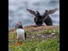Paul Bullock LRPS-Farne Island Puffin-Second.jpg