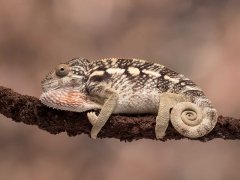 Phil Barker nature-chameleon-Very Highly Commended.jpg