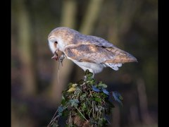 Phil Barker-barn owl and mouse-First.jpg