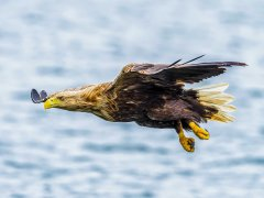 Paul Bullock-White Tailed Sea Eagle Flypast-Very Highly Commended.jpg