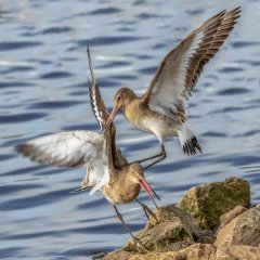 Carl Lane-Godwit fight-Very Highly Commended.jpg