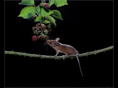 Vince Scriven-Woodmouse on bramble-Commended.jpg